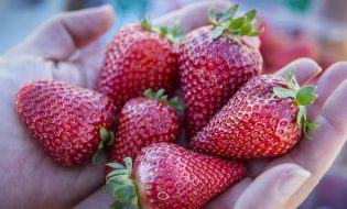 The UC Davis Finn is one of two new strawberry varieties bred to be large, sweet, and to ripen in winter.