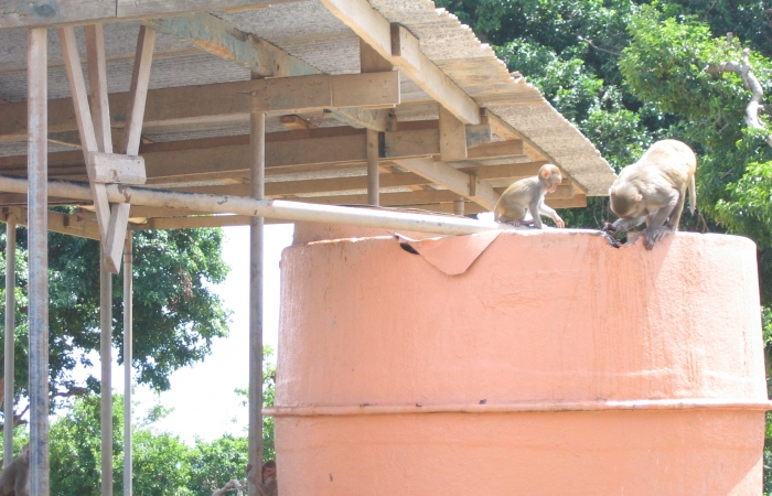 monkeys explore Cayo Santiago's water cache system